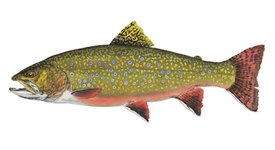 Brook Trout Species