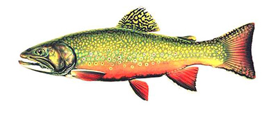 Brown Trout Species