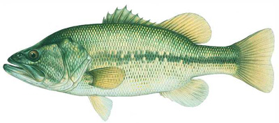 Largemouth Bass Species