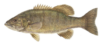 Smallmouth Bass Species