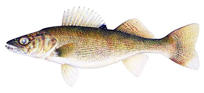 Walleye Species