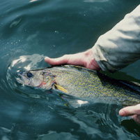 Catch and Release Walleye