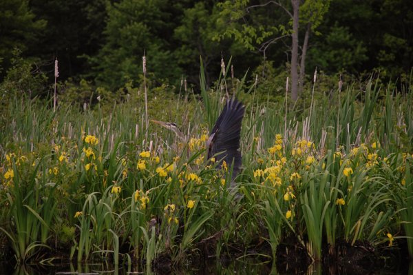 Southern Ontario Heron Spreads its Wings